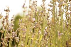 Campo da alfazema na flor Imagens de Stock Royalty Free