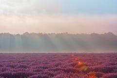 Campo da alfazema na manhã Foto de Stock Royalty Free