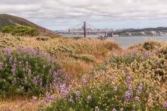 Campo da alfazema na mola San Francisco foto de stock