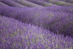 Campo da alfazema no Cotswold Fotografia de Stock