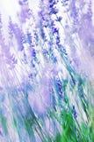 Campo da alfazema no francês Provence Imagens de Stock