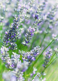 Campo da alfazema no francês Provence Foto de Stock