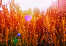 Campo da alfazema no por do sol em Kuyucak, Isparta, Turquia imagem de stock royalty free