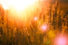 Campo da alfazema no por do sol em Kuyucak, Isparta, Turquia imagens de stock