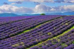 Campo da alfazema, Provence, France Imagem de Stock