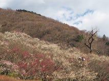 Campo da ameixa no Mt Parque de Maku Fotos de Stock Royalty Free