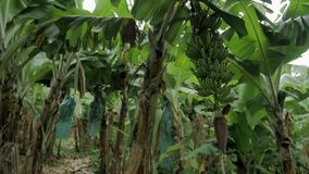 Campo da banana com grupo de bananas verdes filme
