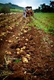 Campo da batata Imagem de Stock