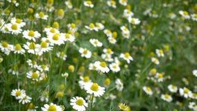 campo da camomila da margarida com vento como uma planta decorativa de florescência para jardins e o prado ajardinam, tom da metr filme