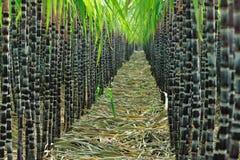 Campo da cana-de-açúcar imagem de stock