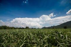 Campo da cana-de-açúcar Imagem de Stock Royalty Free