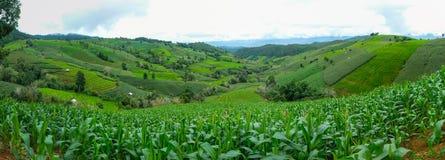 campo da cana-de-açúcar com céu azul imagens de stock