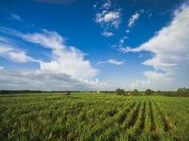 campo da cana-de-açúcar com céu azul fotografia de stock