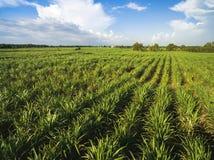 campo da cana-de-açúcar com céu azul fotos de stock