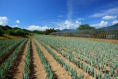 Campo da cebola verde Fotografia de Stock