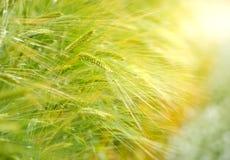 Campo da cevada no tempo do nascer do sol, foco na planta de arroz média Imagem de Stock