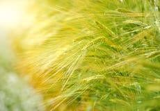 Campo da cevada no tempo do nascer do sol, foco na planta de arroz média Fotos de Stock
