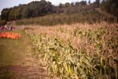 Campo da colheita com as abóboras no fundo colocado no i à terra foto de stock
