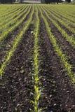 Campo da colheita de seedlings do milho na mola fotos de stock royalty free
