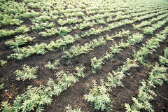 Campo da colheita do grão-de-bico Foto de Stock Royalty Free