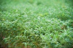 Campo da colheita do grão-de-bico Fotografia de Stock