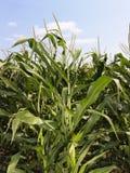 Campo da colheita do milho. Fotografia de Stock