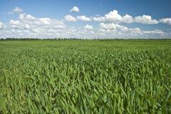 Campo da colheita verde Fotografia de Stock