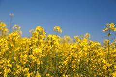 Campo da colza Couve-nabiça de florescência Foto de Stock