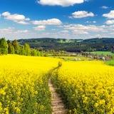Campo da colza, do canola ou da couve-nabiça com maneira do trajeto Foto de Stock Royalty Free