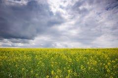 Campo da colza, flores de florescência do canola perto acima Violação no campo no verão Imagem de Stock Royalty Free
