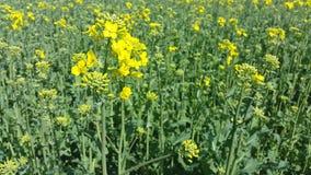 Campo da colza na flor completa usada para o combustível biológico vídeos de arquivo