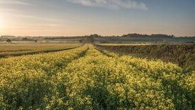 Campo da colza no nascer do sol da flor Foto de Stock