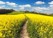 Campo da colza, o canola ou a couve-nabiça e a maneira do trajeto Imagens de Stock Royalty Free