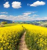 Campo da colza, o canola ou a couve-nabiça e a maneira do trajeto Fotos de Stock Royalty Free
