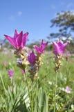 Campo da curcuma de florescência Fotografia de Stock Royalty Free