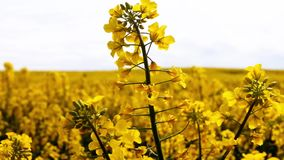 Campo da flor dourada da primavera bonita do close up da colza no fundo borrado, couve-nabi?a do canola no napus latino do Brassi video estoque