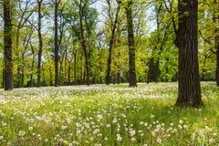 Campo da floresta verde da manhã dos dentes-de-leão na primavera Imagens de Stock Royalty Free