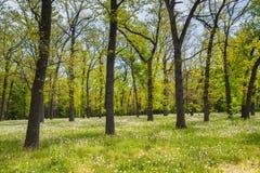 Campo da floresta verde da manhã dos dentes-de-leão na primavera Foto de Stock
