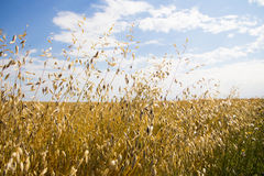 Campo da grão no tempo de colheita. Foto de Stock Royalty Free