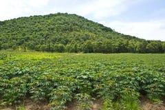Campo da mandioca perto da montanha Imagem de Stock Royalty Free