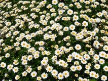 Campo da margarida (Bellis Perennis) Fotos de Stock