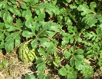 Campo da melancia da agricultura Imagens de Stock