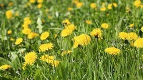 Campo da mola com as flores amarelas do dente-de-leão video estoque