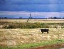 Campo da mola com grama e a vaca desvanecidas da pastagem Fotografia de Stock Royalty Free
