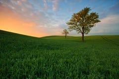 Campo da mola das árvores durante um por do sol bonito Imagens de Stock Royalty Free