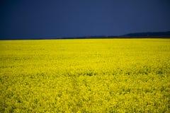 Campo da mola de flores amarelas Fotos de Stock