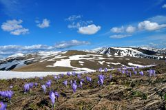 Campo da mola de flores roxas do açafrão e na neve como um fundo imagem de stock