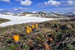 Campo da mola de flores roxas do açafrão e de um cume da montanha coberto na neve como um fundo foto de stock royalty free