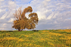 Campo da mola, flores amarelas de florescência Fotografia de Stock