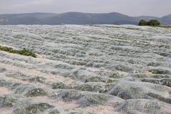 Campo da morango Imagem de Stock